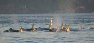 cruise-victoria-killer-whale-watching