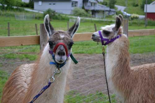 Lama farm in Cruise destination Skolden
